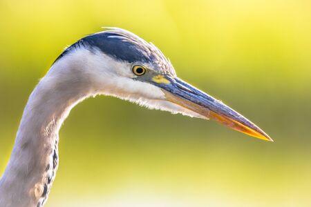 Grey heron (Ardea cinerea) portrait of wading bird looking for food in wetland in Flanders Belgium on green background Reklamní fotografie