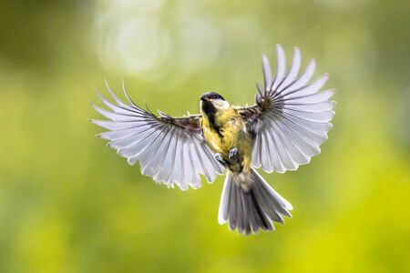 Great tit (Parus major) bird in flight just before landing with visible stretched wings and spread feathers on green background
