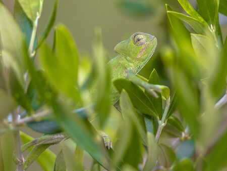 African chameleon (Chamaeleo africanus) climbing on branch in natural tree habitat and peeking through green leaves Banque d'images - 130816887