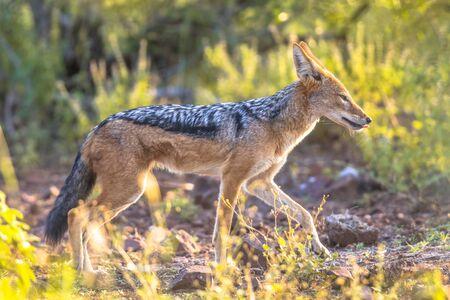 Black-backed Jackal (Canis mesomelas) walking in Kruger national park South Africa