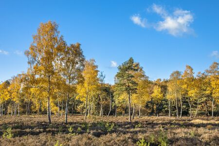 Yellow colored deciduous birch (Betula) trees on heathland in autumn season of november, Drenthe, Netherlands Banque d'images - 130816921