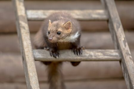 Beech Marten (Martes foina) also known as Stone Marten or House marten. Sitting and looking on a ladder to an attic Stock Photo