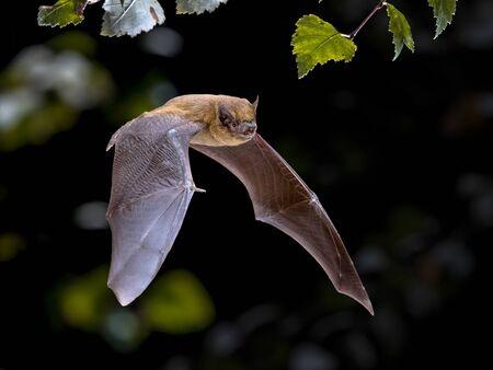 Flying Pipistrelle pipistrello (Pipistrellus pipistrellus) colpo di azione di caccia di animali nella foresta naturale dello sfondo. Questa specie è nota per essere appollaiata e vivere nelle aree urbane in Europa e in Asia.