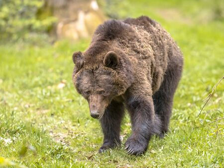 European brown bear ((Ursus arctos) is the most widely distributed bear and is found across much of northern Eurasia and North America.