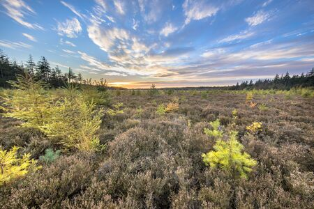 Heathland landscape with bright colored larch (Larix decidua) trees under vivid blue clouded sky at sunset Drenthe, Netherlands