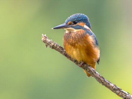 Common European Kingfisher (Alcedo atthis) perched on a stick above the river and hunting for fish. This sparrow-sized bird has the typical short-tailed, large-headed kingfisher profile; it has blue upperparts, orange underparts and a long bill.