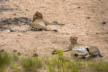two Cheetah (Acinonyx jubatus)  juvenile animal resting in sandy river bed in Kruger National park, South Africa