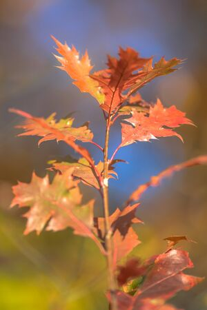 Brightly brown, red and orange colored american oak (Quercus rubra) leaves in autumn season