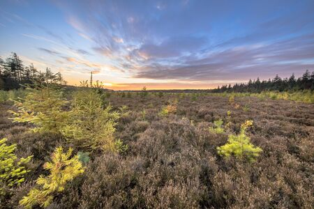 Heathland with bright colored larch (Larix decidua) trees under vivid blue clouded sky at sunset