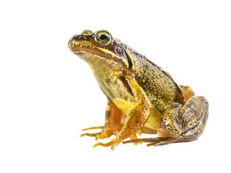 Brauner Frosch (Rana Temporaria) Seitenansicht und Blick in die Kamera auf weißem Hintergrund