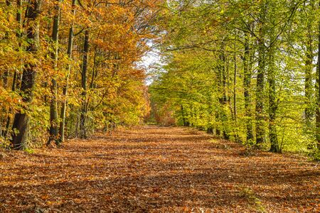 Autumn lane with Beech trees (Fagus sylvatica) in bright orange yellow and brown colors 写真素材