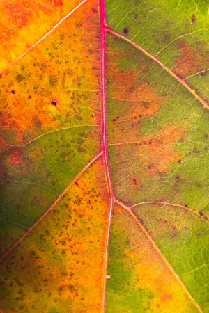 Close up of Brightly green, brown, red and orange colored american oak (Quercus rubra) leave in autumn season. with visible veins