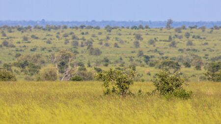 Savanna Bushveld plain with trees bushes and grass in Kruger national park South Africa