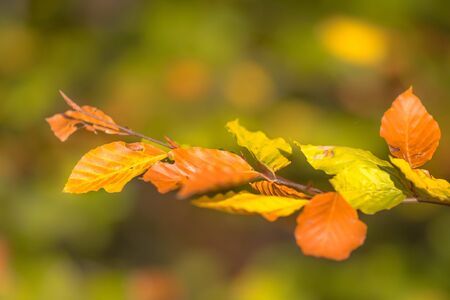 Brown and yellow Autum leaves of European Beech (Fagus sylvatica) on a branch in a forest highlighted by bright sunlight on foliage