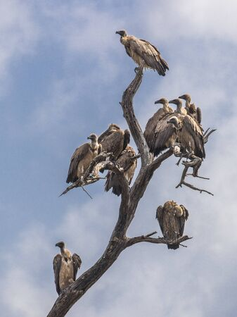 White-backed vulture (Gyps africanus) group of birds perched in dead tree in Kruger national park South Africa