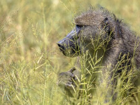 Chacma baboon (Papio ursinus) feeding on seeds of grass in Kruger national park South Africa