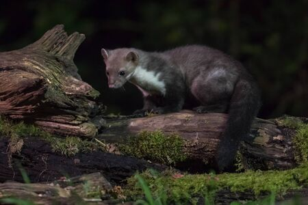 Shy Beech marten (Martes foina) on log in natural habitat at night. This small nocturnal predator is indispensable for the ecological balance in an ecosystem Zdjęcie Seryjne
