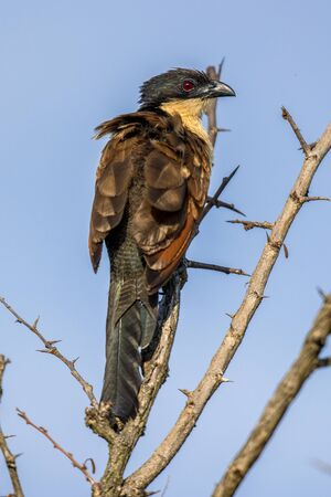 Burchell's coucal (Centropus burchelli) perched in thorny bush in early morning sun on african savannah