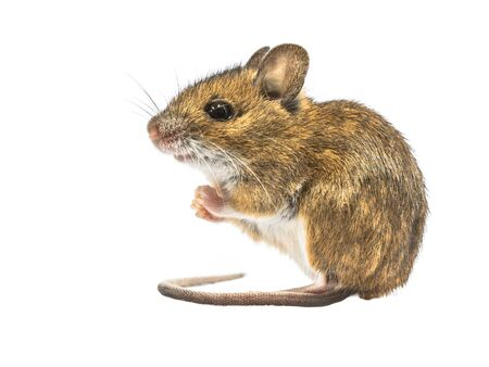 Sitting Wood mouse (Apodemus sylvaticus) isolated on white background. This cute looking mouse is found across most of Europe and is a very common and widespread species.