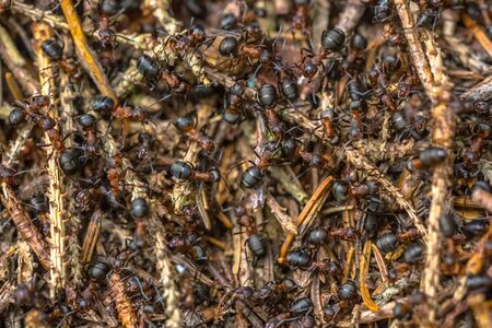 Formica Ants working together in colony hill