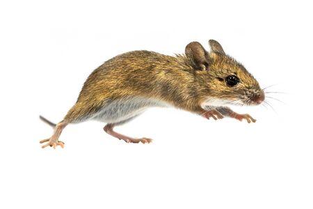 Souris des bois bondissant (Apodemus sylvaticus) isolé sur fond blanc. Cette souris à l'allure mignonne se trouve dans la majeure partie de l'Europe et est une espèce très commune et répandue.