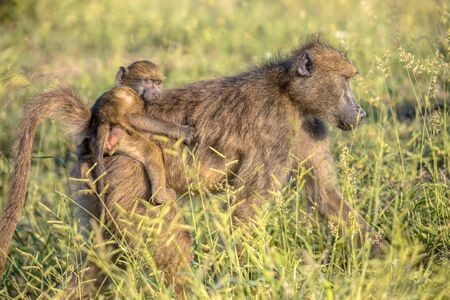 Chacma baboon (Papio ursinus) Mother with young child riding on back in Kruger national park South Africa Zdjęcie Seryjne