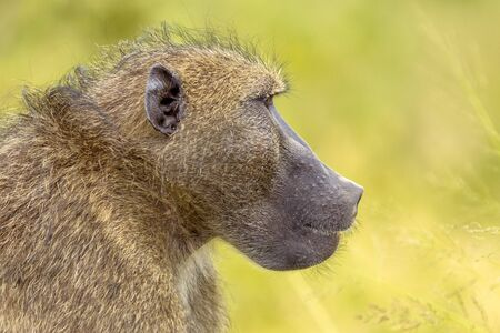 Chacma baboon (Papio ursinus) animal staring in distance profile portrait in Kruger national park South Africa