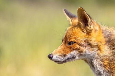 Portrait de renard roux (Vulpes vulpes) sur fond vert clair. Ce bel animal sauvage de la nature sauvage. Sly regardant de côté. Banque d'images