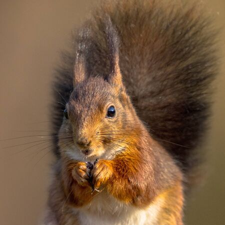 Red squirrel (Sciurus vulgaris) animal eating frontal headshot close up portrait with blurred background