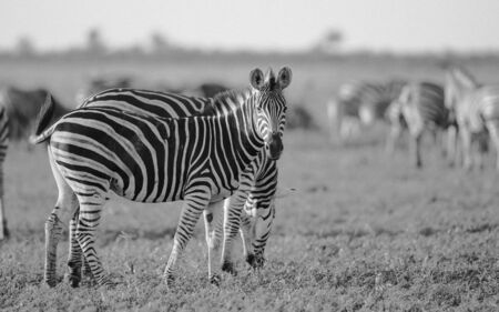 Common Zebra (Equus quagga) foraging in bushveld savanna of Kruger national park South Africa in black and white