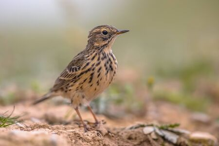 Meadow pipit (Anthus pratensis) is a small passerine bird which breeds in much of northwestern Eurasia, from southeastern Greenland and Iceland east to just east of the Ural Mountains in Russia, and s 스톡 콘텐츠