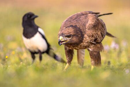 Gemeinsamer europäischer Bussard (Buteo buteo) Raptor Vogel thront in einem grasbewachsenen Hof und ernährt sich von Beute mit europäischer Elster (Pica Pica) im Hintergrund in den spanischen Pyrenäen, Vilagrassa, Katalonien, Spanien. April. Standard-Bild