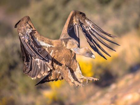 Griffon vulture (Gyps fulvus) flying and preparing for landing in Spanish Pyrenees, Catalonia, Spain, April. This is a large Old World vulture in the bird of prey family Accipitridae. It is also known as the Eurasian griffon and closely related to the white-backed vulture (Gyps africanus).