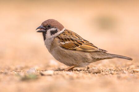 Eurasian tree sparrow (Passer montanus) male animal foraging on the ground in the Spanish Pyrenees, Vilagrassa, Catalonia, Spain. April.