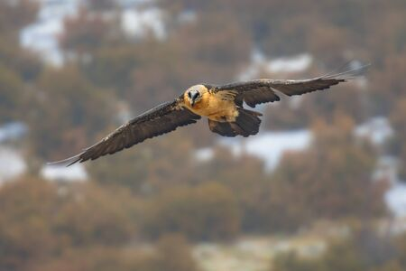 Bearded vulture (Gypaetus barbatus), also known as the lammergeier (or lammergeyer) or ossifrage, is a bird of prey and the only member of the genus Gypaetus. Traditionally considered an Old World vulture, it actually forms a minor lineage of Accipitridae.