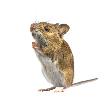 Ramping Wood mouse (Apodemus sylvaticus) isolated on white background. This cute looking mouse is found across most of Europe and is a very common and widespread species. Banque d'images