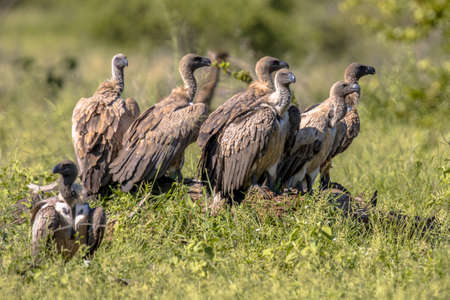 White-backed vulture (Gyps africanus) group waiting near cadaver in Kruger national park South Africa