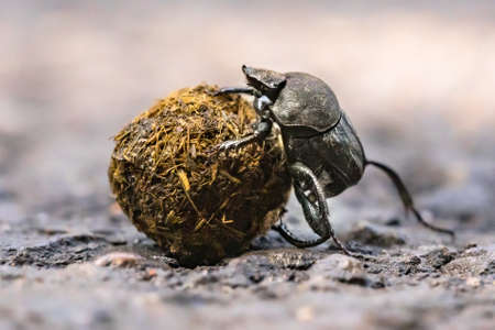 Dung beetle struggling uphill battle with ball. Corsica, France