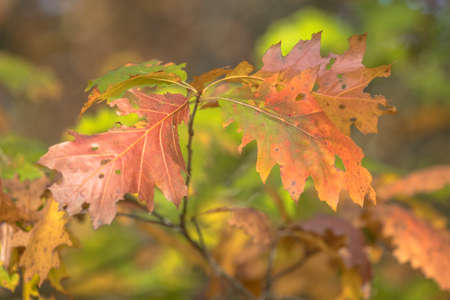 Brightly green, brown, red and orange colored american oak (Quercus rubra) leaves in autumn season