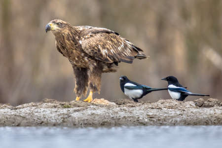 White-tailed eagle (Haliaeetus albicilla) eating fish with magpies (Pica pica) around at Lake Csaj, Kiskunsagi National Park, Pusztaszer, Hungary. February.