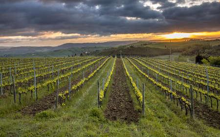 Vineyard in foggy hills of Asciano, Chiusure, Tuscany, Italy, April. 免版税图像