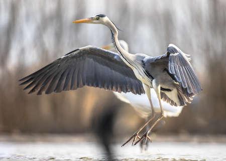 Gray heron (Ardea cinerea) flying preparing for landing at Lake Csaj, Kiskunsagi National Park, Pusztaszer, Hungary. February. It feeds mostly on aquatic creatures.