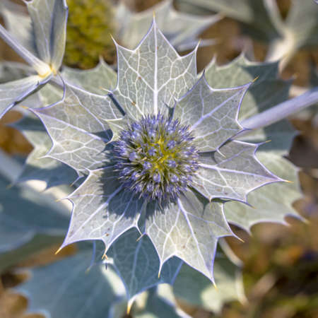 Seaside eryngo (Eryngium maritimum) flower close up growing in natural environment in the dunes of the Waddensea island of Ameland