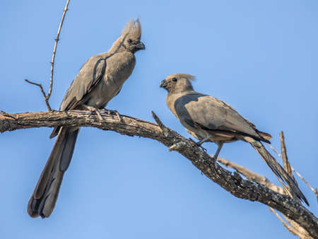 Gray go-away-bird (Corythaixoides concolor) or Lourie bird couple courtship on branch in Kruger national park South Africa