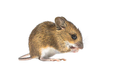 Eating Wood mouse (Apodemus sylvaticus) isolated on white background. This cute looking mouse is found across most of Europe and is a very common and widespread species. 免版税图像