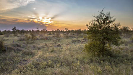 African Savanna plain with trees bushes and grass at sunset in Kruger national park South Africa 免版税图像