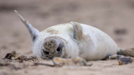 Comical Common seal puppy (Phoca vitulina) lying on back in sand on beach of Helgoland, Germany