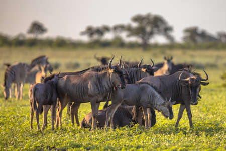 Common Blue Wildebeest or Brindled Gnu (Connochaetes taurinus) herd grazing at sunset in Mooiplaas river bed in bushveld savanna of Kruger national park South Africa