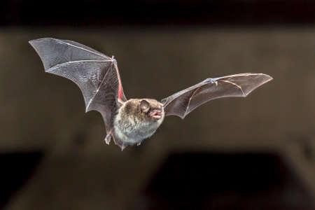 Daubenton's bat (Myotis daubentonii) flying on attic or house