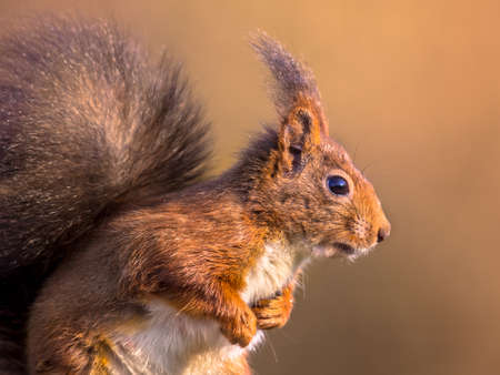 Red squirrel (Sciurus vulgaris) head sideview close up portrait with blurred background